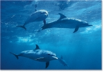 SPOTTED DOLPHIN POD (8X10 MATTED)