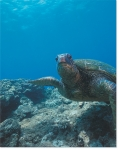 SEA TURTLE ENCOUNTER (8X10 MATTED)