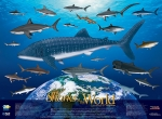 Poster, Sharks of the World (19 X 26)