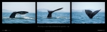 "Pacific Gray Whales (38.5"" X 12"" Poster)"